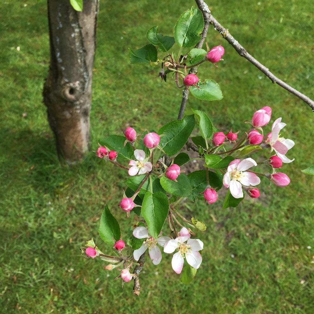 Apfelblüte im Öko-Garten