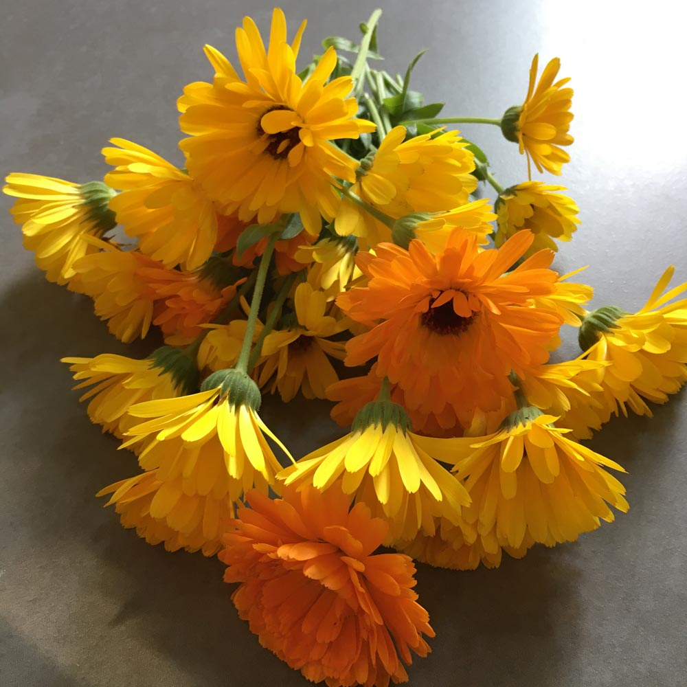 Ringelblumen für selbstgemachte Ringelblumensalbe