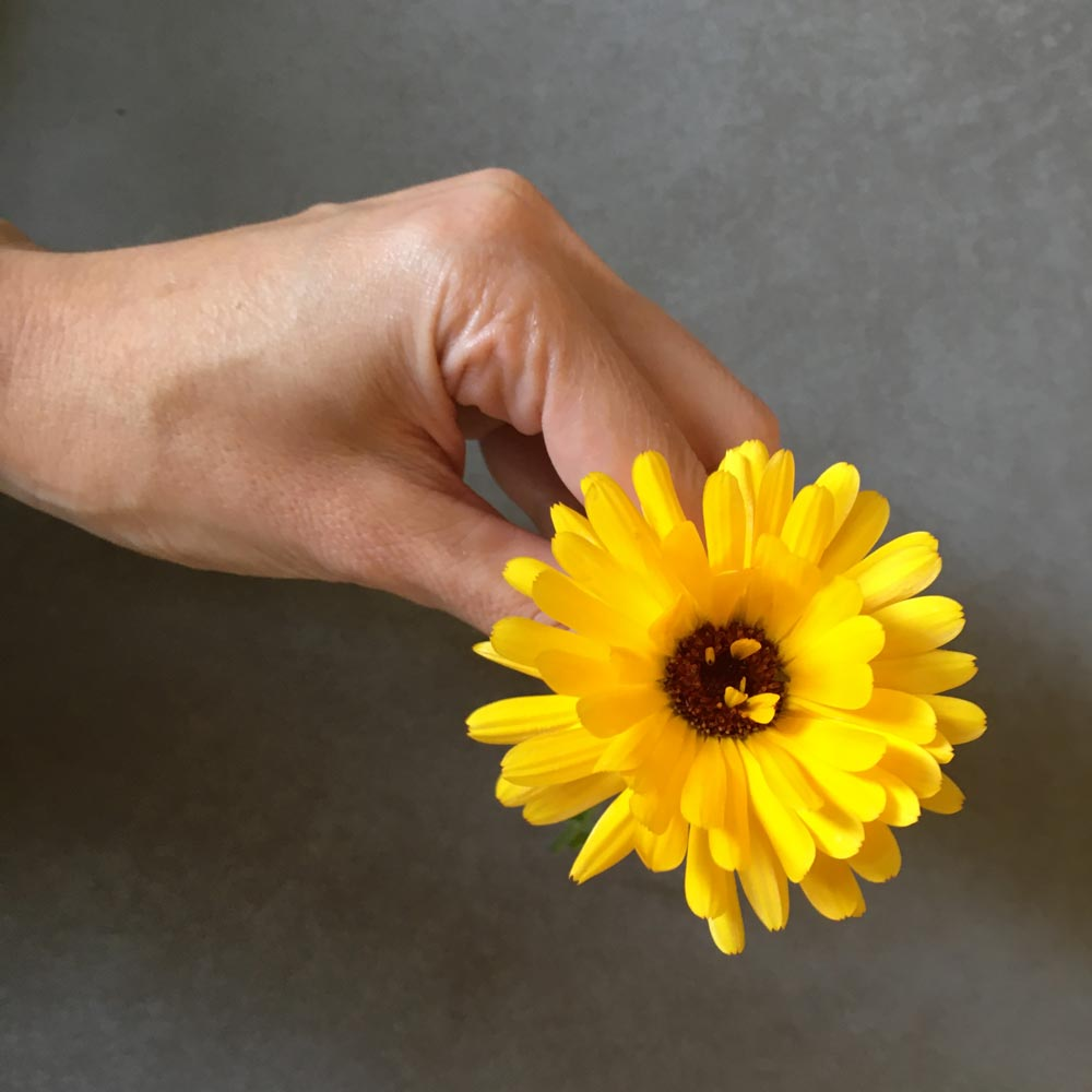 Ringelblume für selbstgemachte Ringelblumensalbe